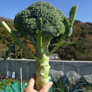 夏まきブロッコリー種まき☆長期収穫プラン