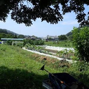 初秋トウモロコシ☆葉山農園(8月中旬)