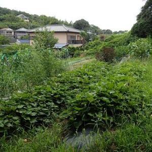 葉山野菜栽培記(8月下旬)☆秋冬ダイコン種まき
