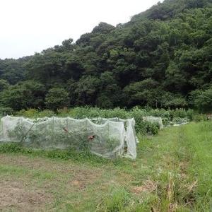 秋茄子シーズン到来?!☆葉山農園(8月中旬)