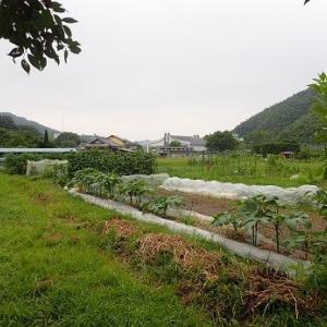 赤ピーマン☆葉山農園(8月下旬)
