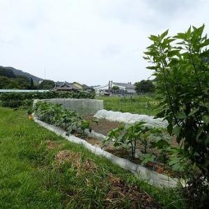 ジャガイモマルチ☆葉山農園(9月初旬)