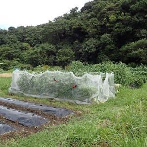 芽キャベツと排水☆葉山農園(9月初旬)