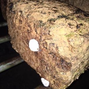【しいたけ菌床】白いコブの詳細について