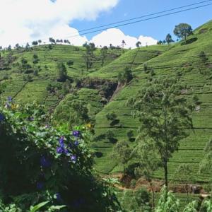 スリランカ紅茶@Clipper Tea