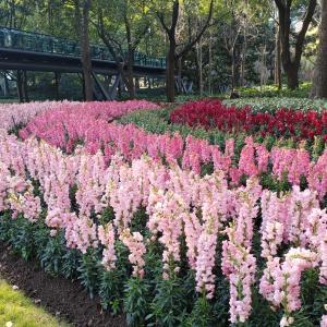 上海のプラタナスの管理は大変!だからこそ美しい!そして大好きな徐家汇公园