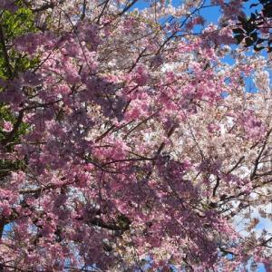 日本国民だってコロナ対策と明日からの生活を考えなければならない時にね 桜を見たって騒いで政争に明け暮れるからね