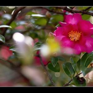 公園の山茶花2