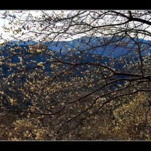 桜山の蝋梅
