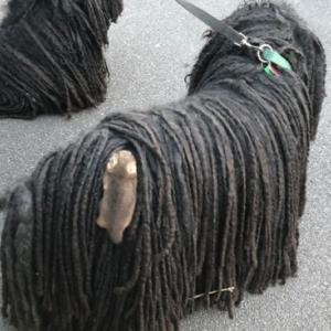 モップのような毛を持つプーリー犬の背に必死にしがみついていたのは、ポッサムの赤ちゃんだった!(オーストラリア)