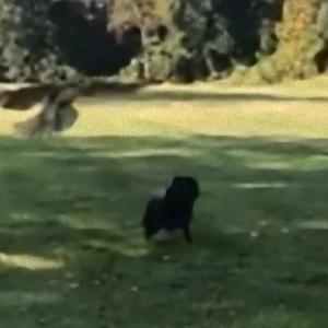 公園を散歩中に猛禽類が空からやってきた!子犬の危機一髪