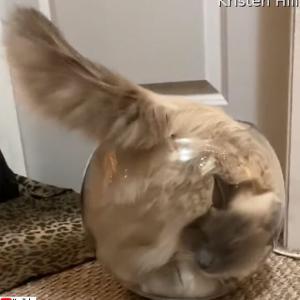 流動体としての猫。金魚鉢の中に液状化し流れ込む様子を動画で