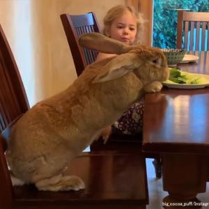巨大ウサギのココアちゃん、家族との絆も深まり愛情と存在感もビッグに(アメリカ)