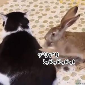 ウサギの超速マッサージに時空の歪みを感じた猫