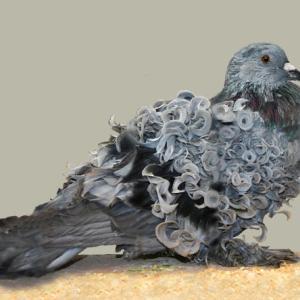モネの絵画かな?スタイリッシュな巻き毛を持つ鳩「フリルバック」にズームイン!