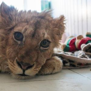 プーチン、動きます。子ライオンを虐待した犯人を捜すよう当局に命令(ロシア)