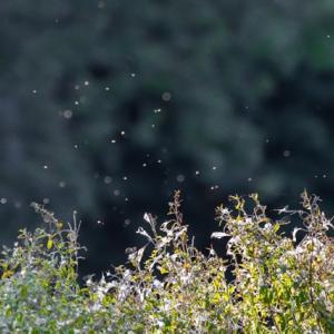 遺伝子組み換え蚊、7億5千万匹の放出にゴーサイン(アメリカ・フロリダ州)