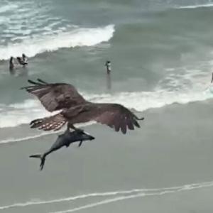 猛禽類随一の魚捕り名人、ミサゴが巨大魚ゲットだぜ!