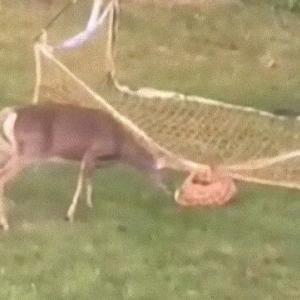 ゴールネットに足が引っかかってしまった子鹿と戸惑う母鹿。困った子鹿を人間男性が手助け