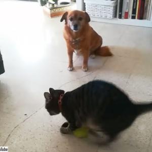 これは新しい!テニスボールの遊び方を犬に伝授する猫