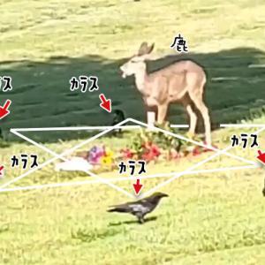 これどんな儀式?墓地で6羽のカラスが魔法陣を組み、鹿を取り囲んでいる件