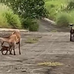 尻尾フリフリが止まらない!迷子の子ヤギが人間に助けられ、ようやく母親と再会(フィリピン)