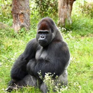 ゴリラもチンパンジーも同じヒト科。スイスの一部地域で霊長類に基本的権利を与える法案が審議中