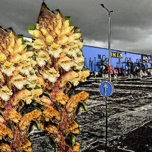店の駐車場で寄生植物の変種が発見される(イギリス)