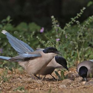 鳥だって仲間を見捨てない。空腹の仲間に餌を分け与える姿を確認(オランダ研究)