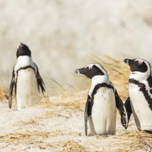 オス同士のペンギンカップル、メス同士のカップルから巣ごと卵を盗む(オランダ)