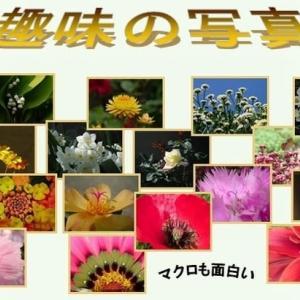 ユーバトリウム シソ科 別名西洋藤袴、フジバカマの小型の花で宿根草です。今日の野鳥:キビタキ