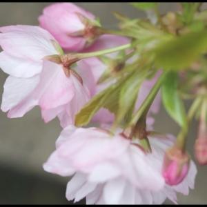 鉢植え満開桜