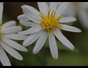 キシュウ菊