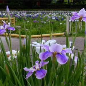 庄内緑地緑地公園の花しょうぶ(6/11撮影)