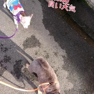 お散歩と茶太くん病院(*^▽^*)