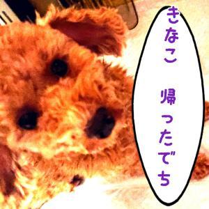 おかえり~!【預かりブログ トイプーきなこ】