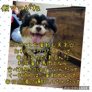 お薬事情☆ブライドくん【預かりブログ チワワ ブランド】