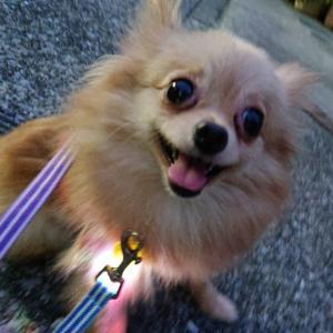 ジェミニーちゃんのお散歩事情【預かりブログ ポメラニアン】