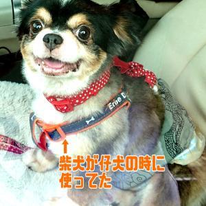 痩せたの~~(*^^*)【預かりブログ:チワワ ブライド】