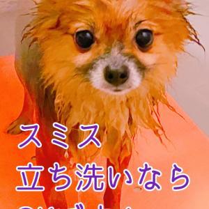 """""""【正式譲渡】ポメラニアン 3歳 ♀ スミスちゃん"""""""