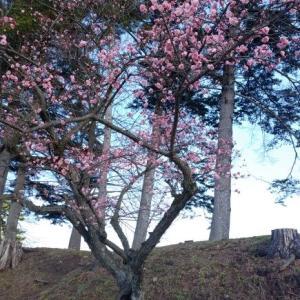 鶴ヶ城・梅坂の梅開花