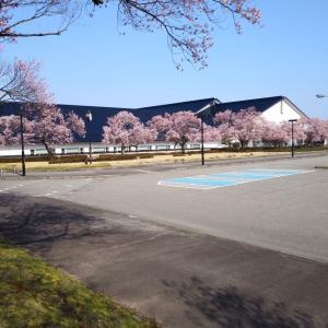 会津・桜が咲き始めました②