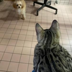 命名 ゴーゴーゴロー & マーブル成猫女子の里親様募集のおしらせ。