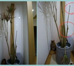 嘆きの観葉植物(トラくんのママさんから届きました~\(^o^)/)
