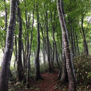 癒しのブナ林へ~どんぐりころころ林道から