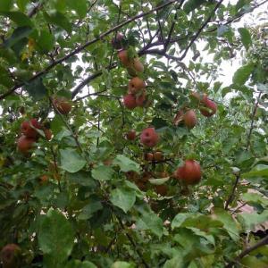 リンゴを収穫してあれやこれや思ふ