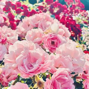 札幌市大通公園のバラたち