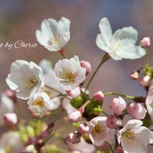札幌も桜が咲き始めました
