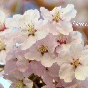 桜が気になって