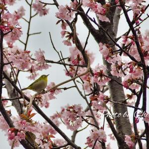桜と野鳥たち